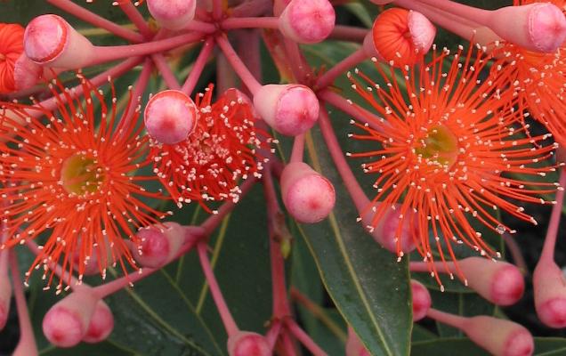 "Eucalyptus ficifolia ""Dwarf Orange"""